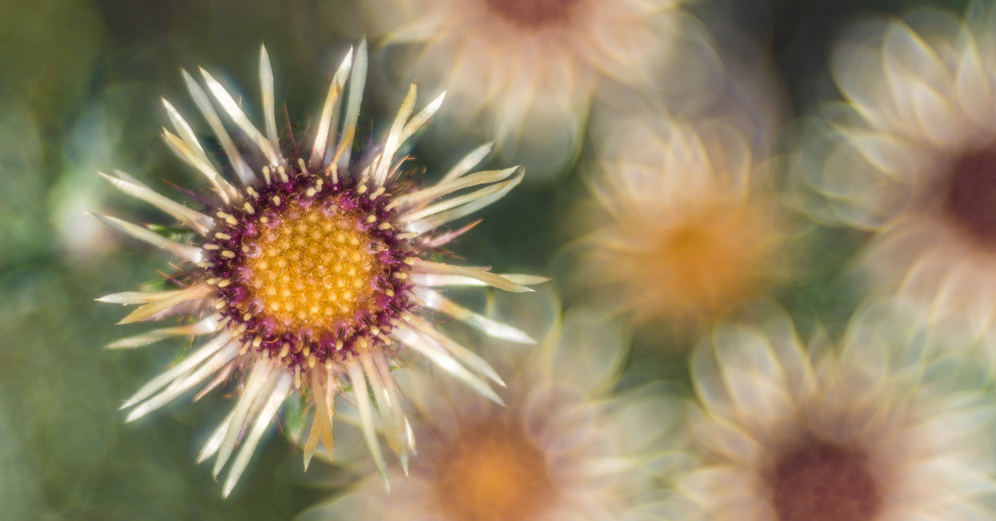 Golddistel (Carlina vulgaris); © Roland Günter