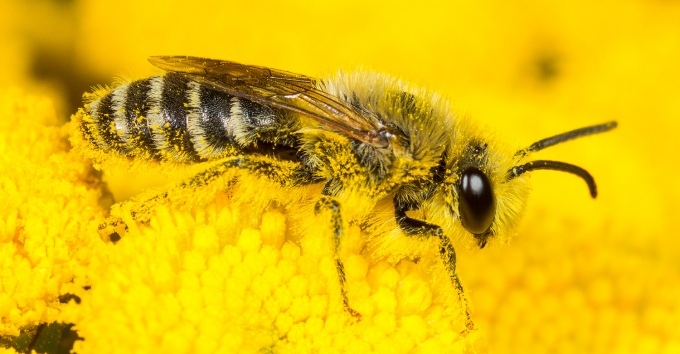 Seidenbiene (Colletes fodiens)