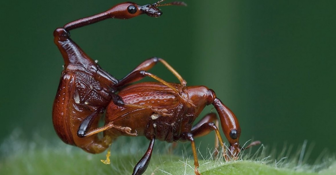 A mating pair of giraffe weevil long necked beetle, Cycnotrachelus sp. Foto: Kurt - orionmystery.blogspot.com